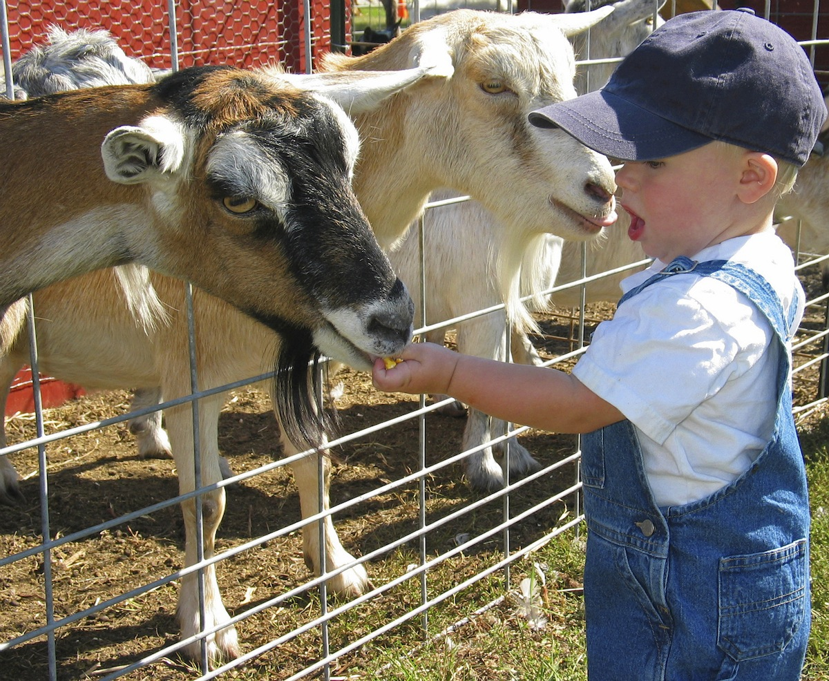 Young boy feeding goats at a petting zoo
